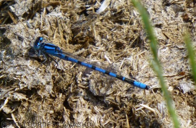 Libélula común azul.