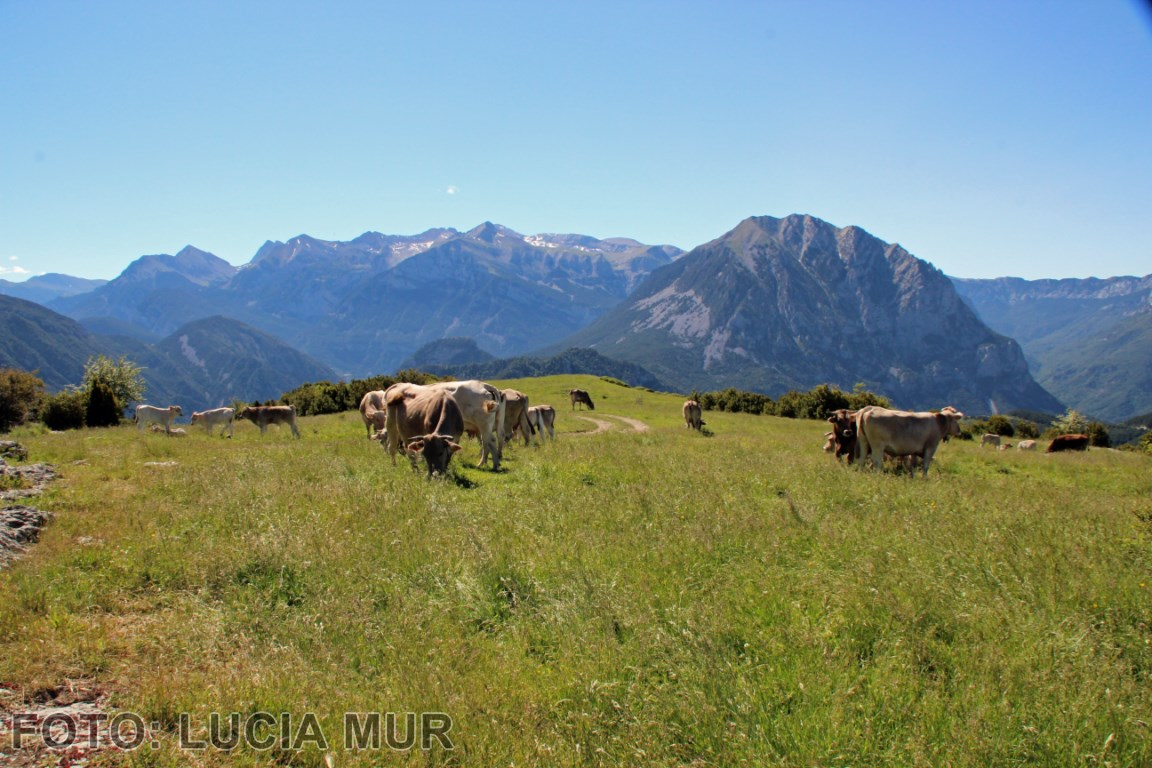 Vacas en la montaña de tella [1280x768]