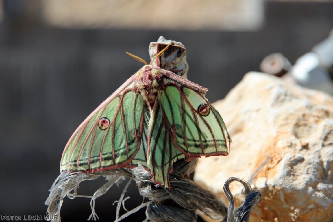 mariposa (Copiar)