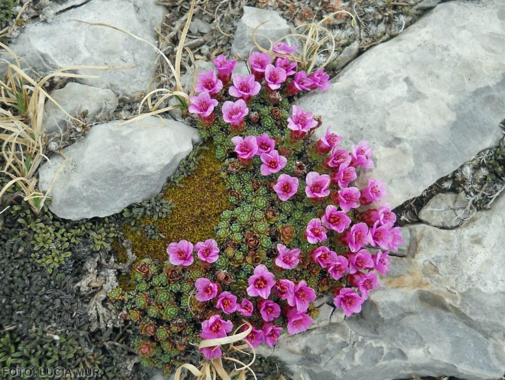 Saxifragaceas oppositifolia (Copiar)